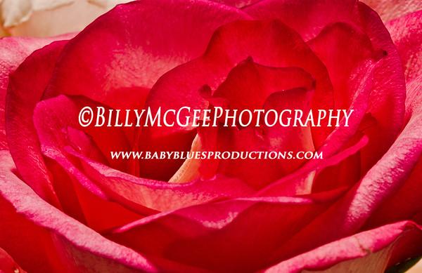 Red-Rose-2 - IMG-9777