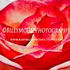 Red-Rose - IMG-9776