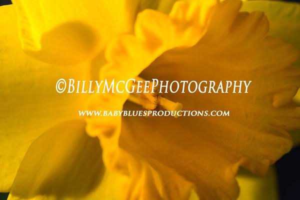 Daffodils - 09 Mar 12