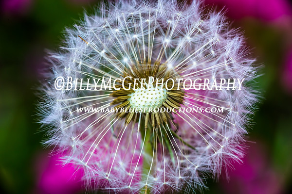 Dandelion Flower - 02 May 2015