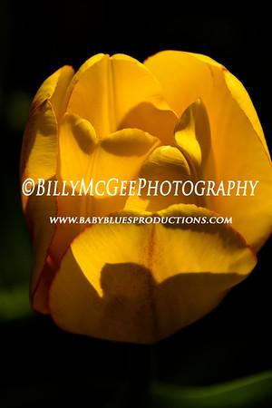 Front Yard Tulips - 27 Mar 12