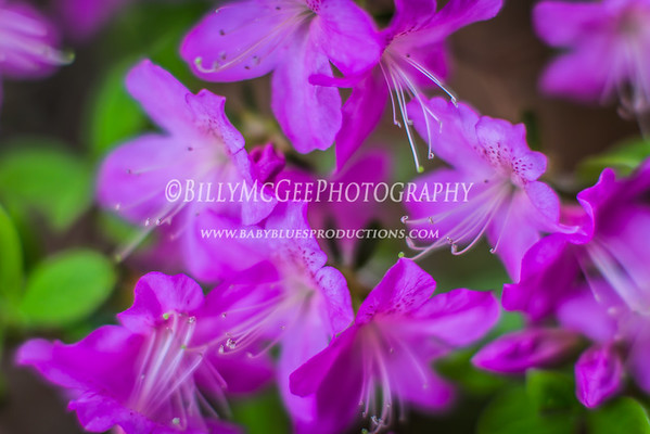 Pink Flowers - 01 May 2015