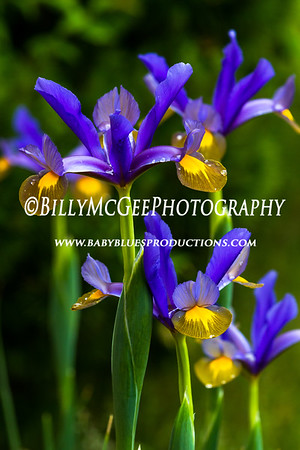 Purple Flower Raindrops - 26 Apr 12
