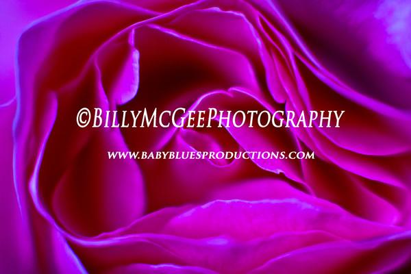 Roses - 16 Sep 2011