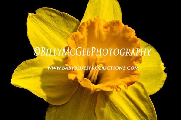 Spring Daffodils - 19 Mar 2011