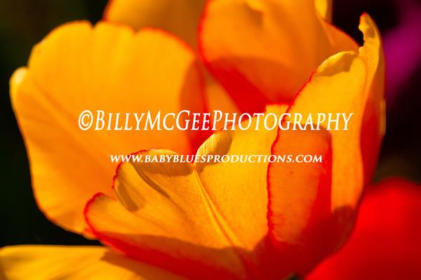Tulip Flower Garden - 19 Apr 2011