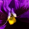 Pansy with Pollen Dust 1