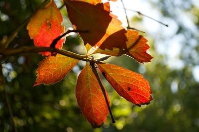 Orange leaf against the sun
