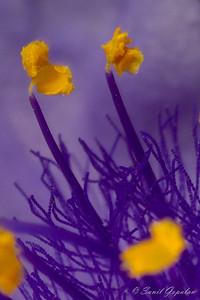Spiderwort - flower in flower