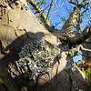 Lichen on an apple tree