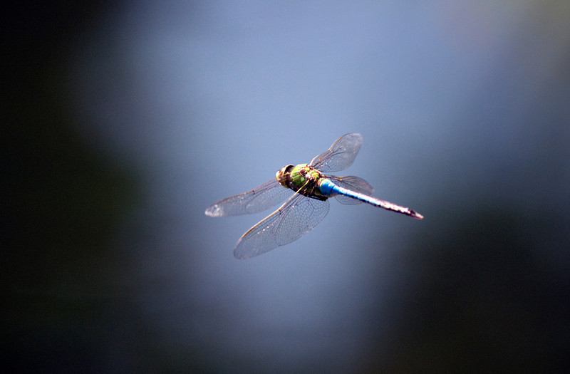 Dragonfly in flight.