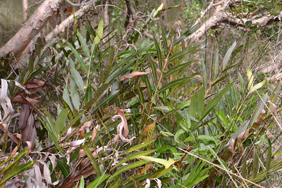 """Mangrove Fern, """"Acrostichum speciosum"""""""