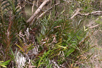 """Mangrove Fern, """"Acrostichum speciosum"""".  An excellent study of Mangroves in the Solitary Islands Park area is """"Mangrove Species of the Solitary Islands Marine Park"""" by Mr. Richard Taffs of Wooli."""