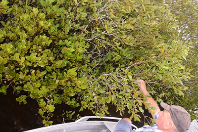 "The Hand of Bruce demonstrating River Mangrove on the left, and Grey Mangrove on the right, all in close proximity on Coke Island, just upstream from Rum Island.  River Mangrove, ""Aegiceras corniculatum"" has curved tapering fruit; we have earlier images of the tiny white five-petalled flowers. Grey Mangrove, ""Avicenna marina subs. australasica"" has rounded and rather flattened fruit which were eaten by Aborigines. We have earlier pictures of their tiny four-petalled flowers."