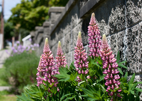 Lupines in New West, Vancouver BC.
