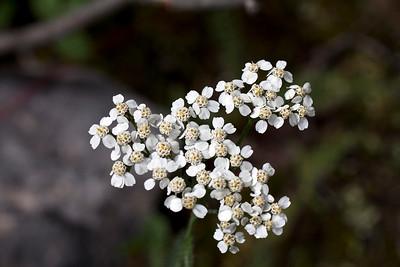 Common Yarrow - Achillea Millefolia