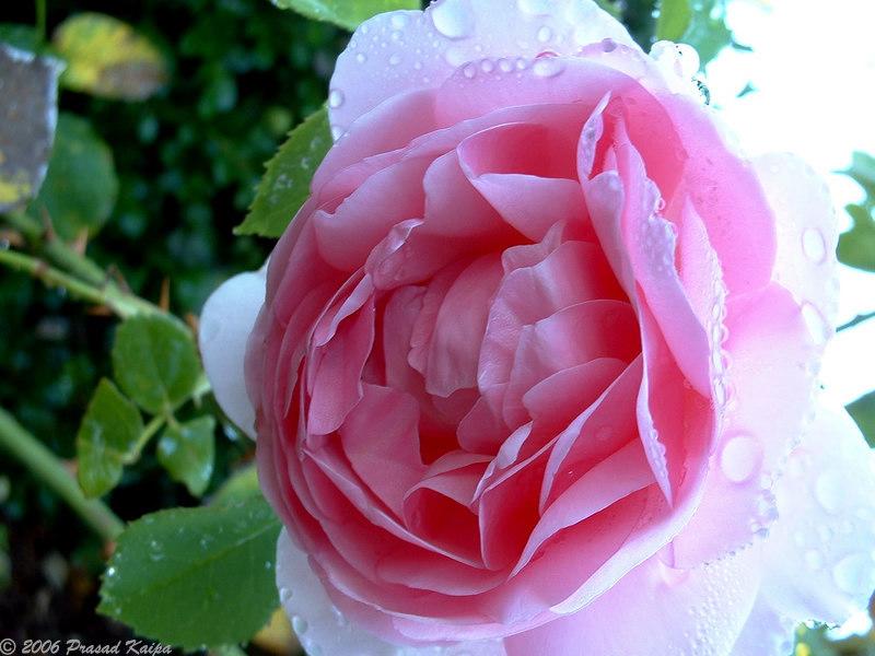 bright_rose