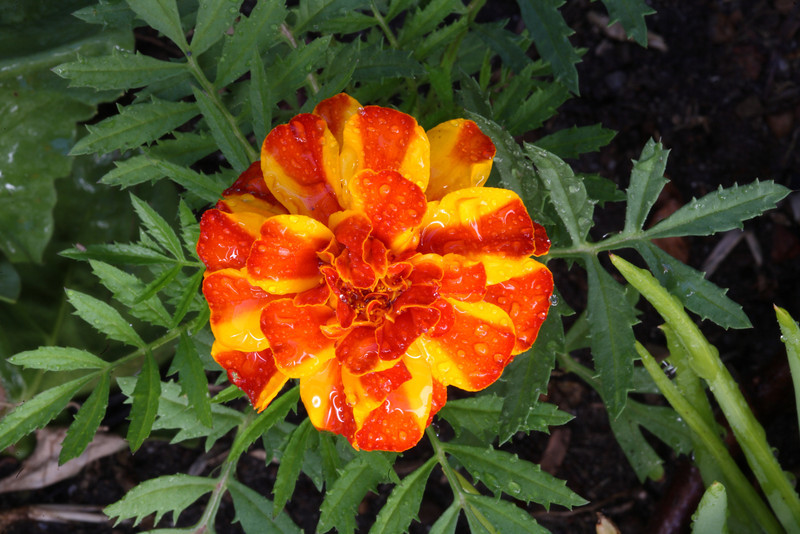 Orange and yellow African marigold or Tagetes. The pungent aroma of these flowers make them a useful addition to herb and vegetable gardens, as they discourage harmful insects, while their bright colours add some cheer.
