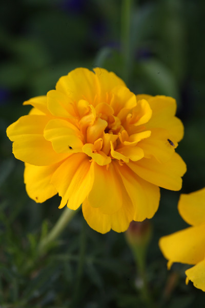 Yellow African marigold or Tagetes. The pungent aroma of these flowers make them a useful addition to herb and vegetable gardens, as they discourage harmful insects, while their bright colours add some cheer.