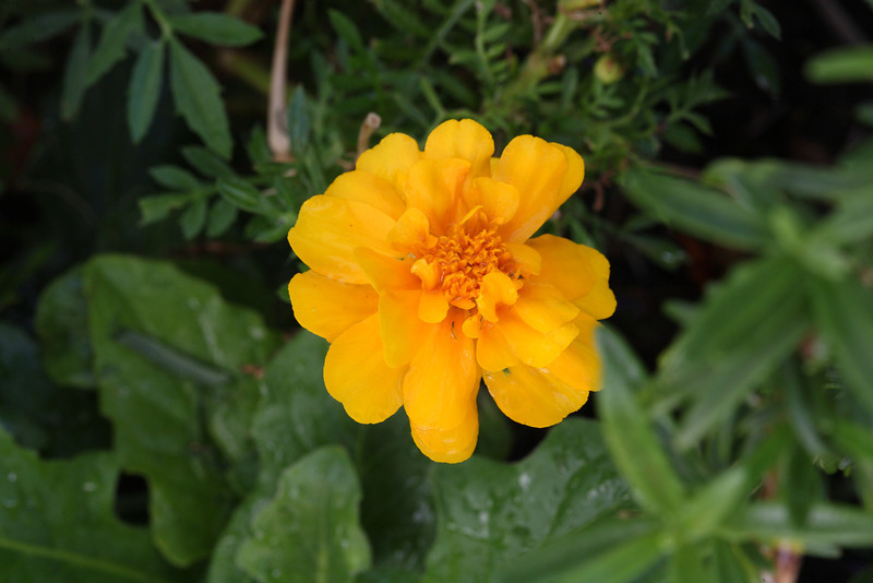 Tagetes erecta, also known as marigolds, are popular flowers in companion gardening, as their pungent smell deters a number of garden pests