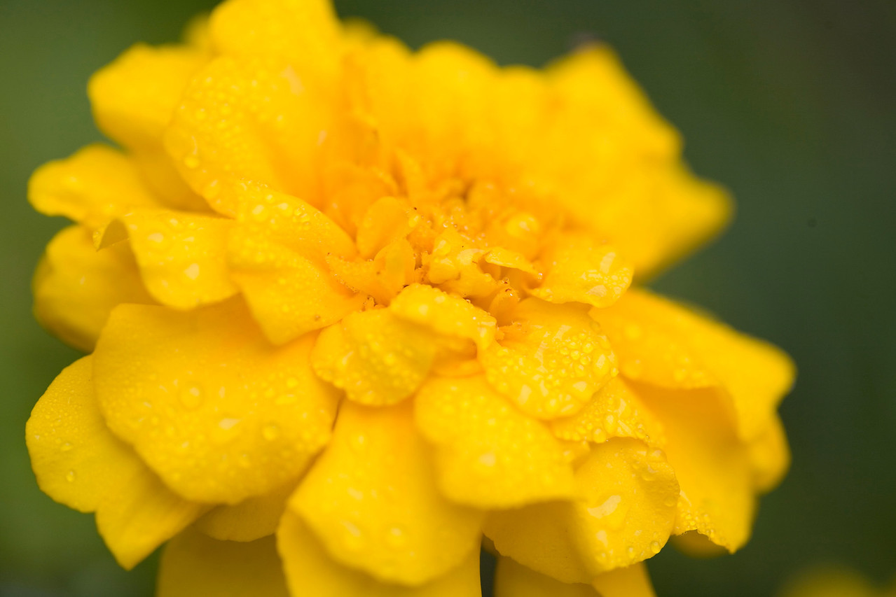 Yellow marigold (tagetes erecta) Yellow African marigold or Tagetes. The pungent aroma of these flowers make them a useful addition to herb and vegetable gardens, as they discourage harmful insects, while their bright colours add some cheer.