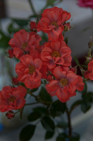 Marin Rose Society Show - May 8, 2010