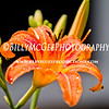 Colorful-Lily-IMG-6785