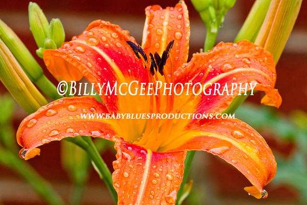 Backyard Raindrop Flowers - 11 Jun 11