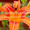 Lily-Raindrops-IMG-6812