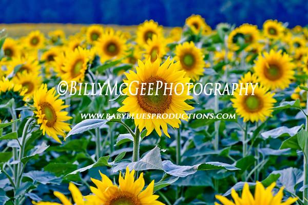 Sunflower Fields - 12 Sep 2011