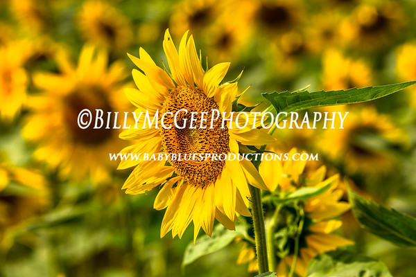 Sunflower Fields - 04 Sep 2012