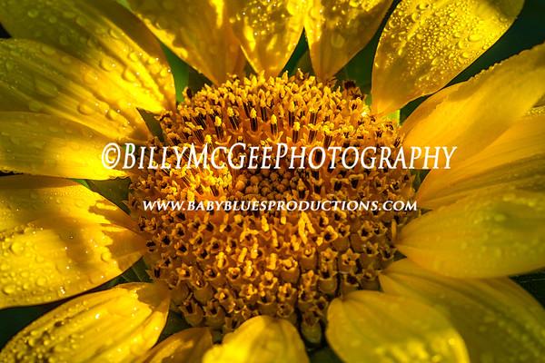 Sunflower Field - 14 Sep 2013