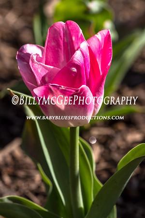 Sherwood Tulip Gardens - 29 Mar 2012