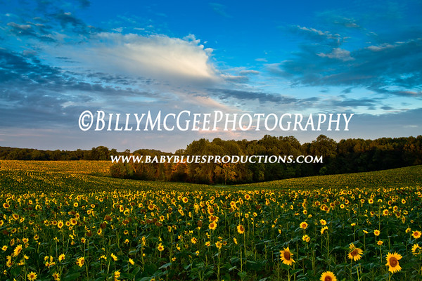 Maryland Sunflower Fields - 17 Sep 2011