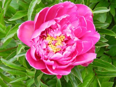 May 12, 2012, Flower in Yard