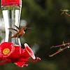 Bossy little Rufous hummingibird
