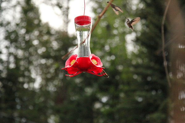 head to head hummingbird fight