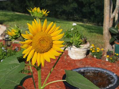 May 2010 Sunflower