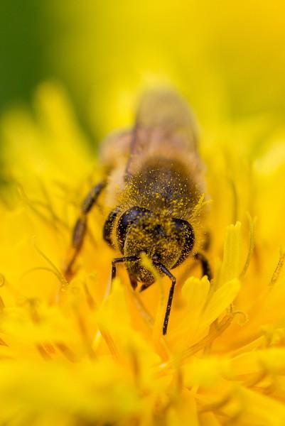 May 28th 2014 Public Gardens Flowers Bee Macro