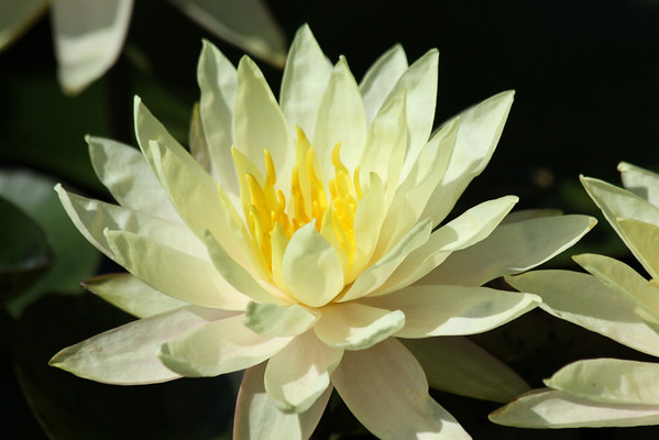 Water Lily-2011