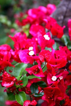 bougainvillea in the rain.