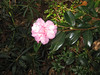 Camellia, October 25th.
