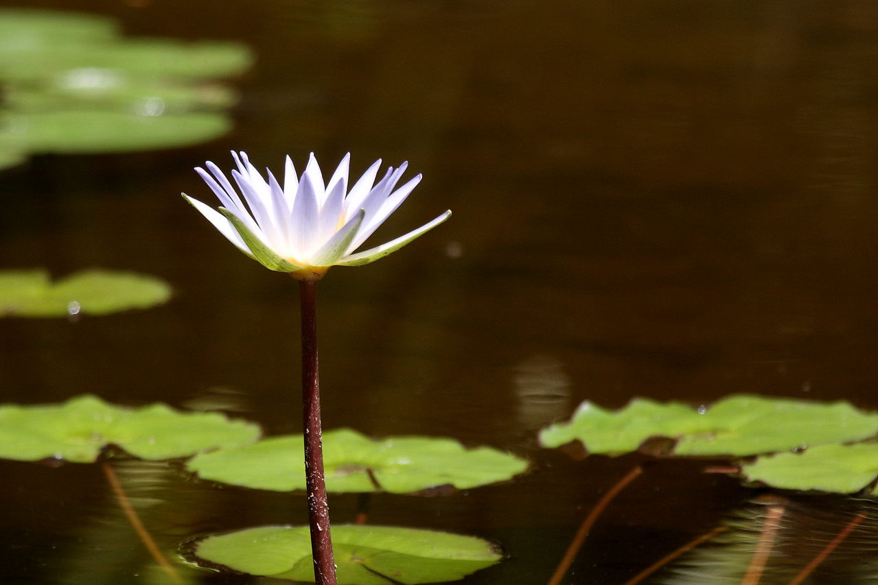 6880 A white water lily.