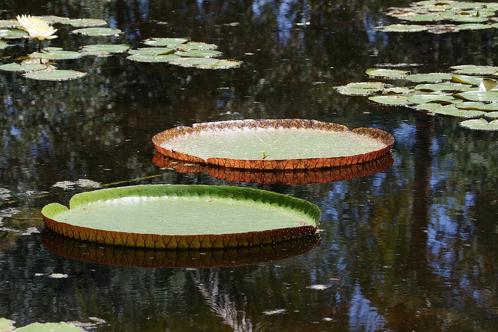 And back to the lilies. These two central pads are larger than large pizza pans. They are about thirty inches across. You can gain their perspective by comparing them to the regular-sized lily pads in the background. Perhaps the dragonfly is eating the leftover crusts.
