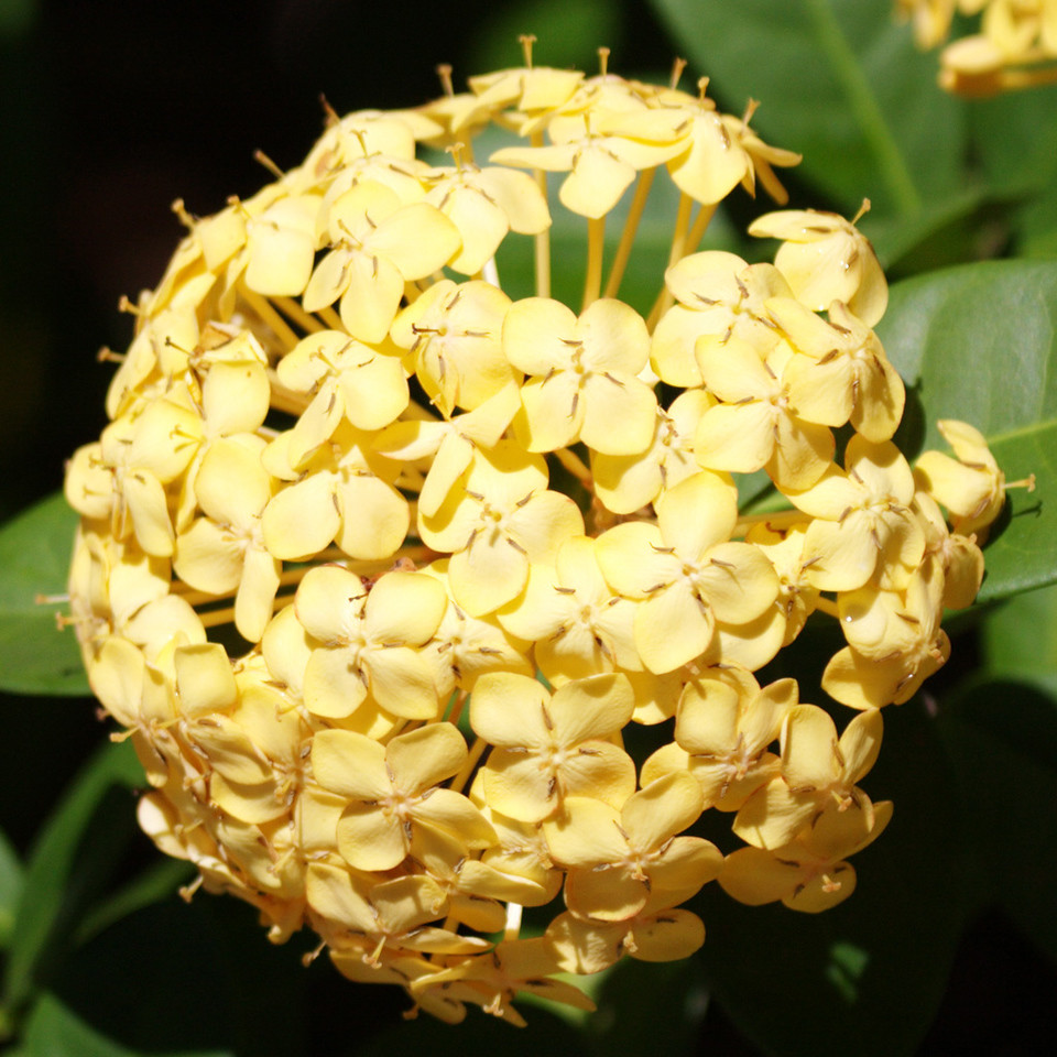 A yellow, ball-shaped cluster of flowers. I know nothing more.
