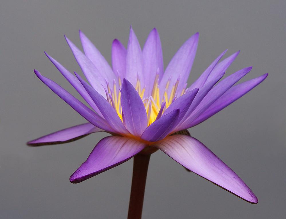 Bluish-lavender, with orange center of bluish-lavender-tipped stamens.