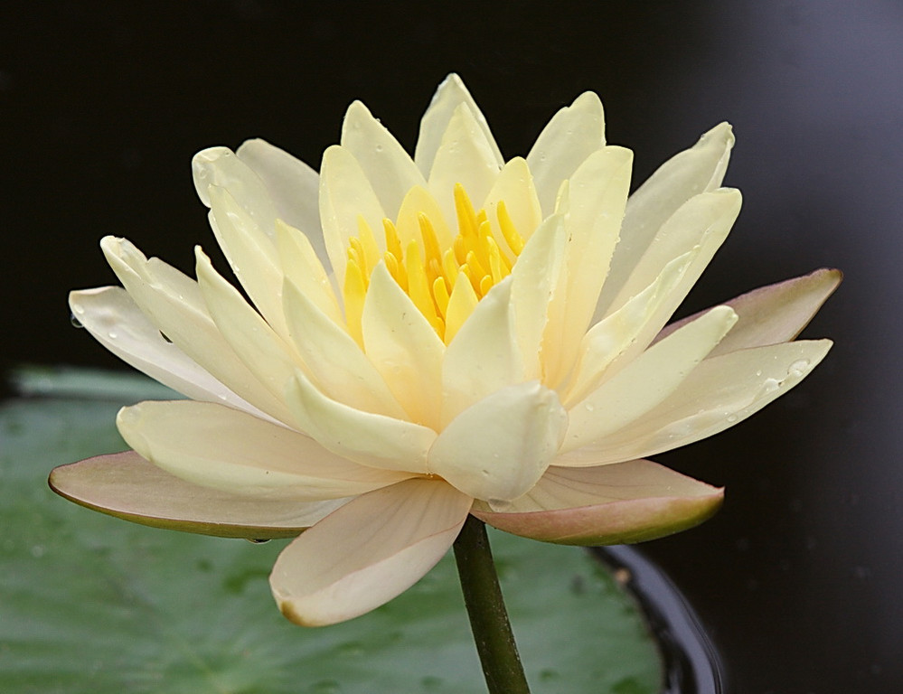 A yellow lily with light orange stamens.