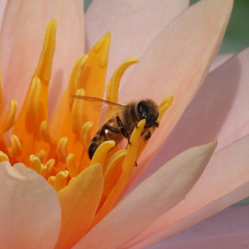 A bee gathering pollen among the stamens, and perhaps pollinating the flower at the same time.