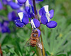 Honey Bee & Lupin 11x14 copy