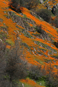 March 2009 - Poppies along Merced River Canyon outside of Yosemite National Park.